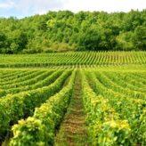 Do 500.000 EUR za ulaganja u vinograde